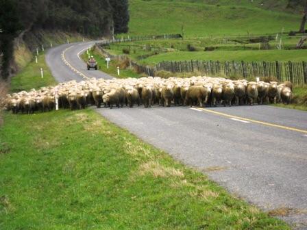 Troupeau de moutons sur la Forgotten Road
