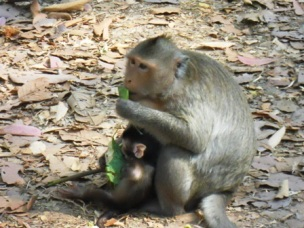 Des singes vus sur le bord d'une des routes du site d'Angkor