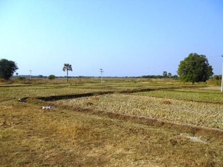 Des rizières à proximité de Bagan