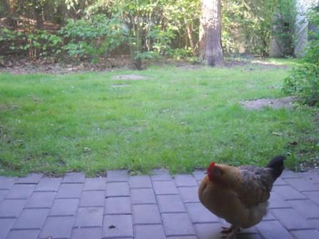 Une poule qui venait tous les jours devant notre cottage du center parcs d'Erperheide