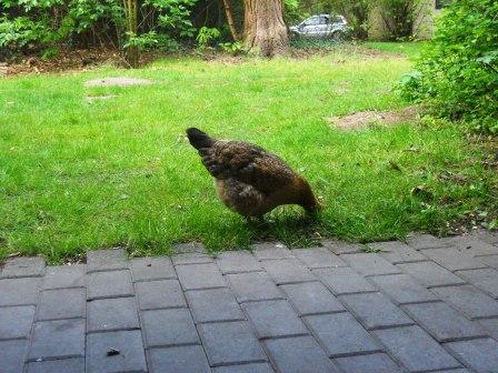 Une poule qui picore devant notre cottage