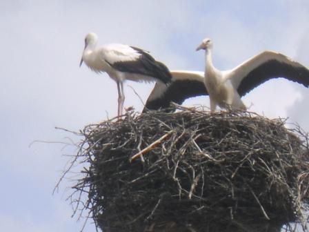Cigognes dans leur nid en Mazurie Pologne