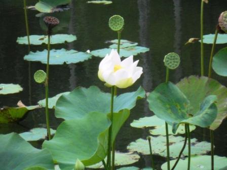 Jardin botanique de Pamplemousses-Ile Maurice