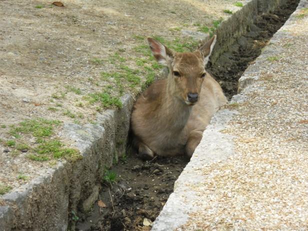 Nara-Japon-BlogVoyage-Asie (4)